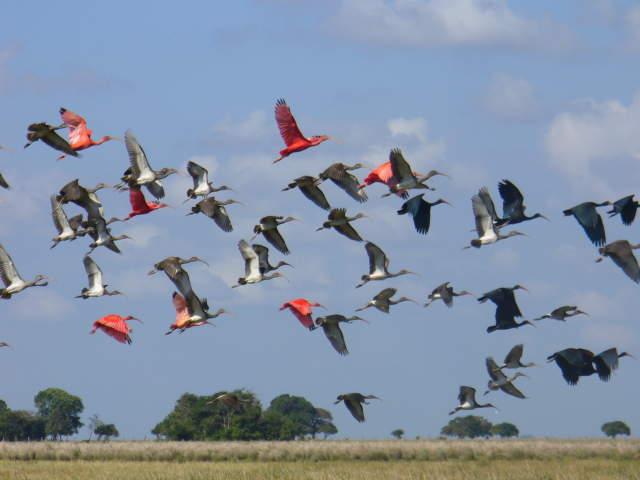En Colombia 10 especies de aves migratorias están en peligro de extinción
