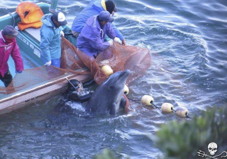 Nuevamente empieza matanza de delfines en Japón