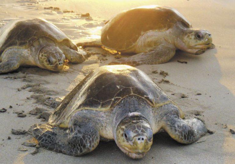 16 mil tortugas en peligro de extinción llegaron a Nicaragua a depositar sus huevos