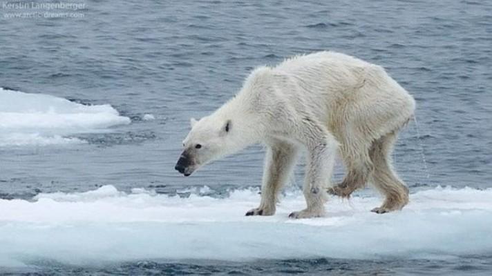 oso-polar-desnutrido-cambio-climatico-566x318 (1)