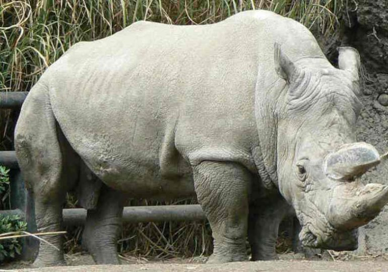 Solo quedan tres rinocerontes blancos en el mundo