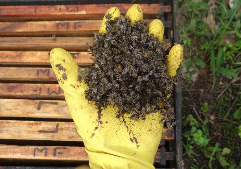 Agrotóxicos están acabando con los cultivos de abejas en Páramo Grande