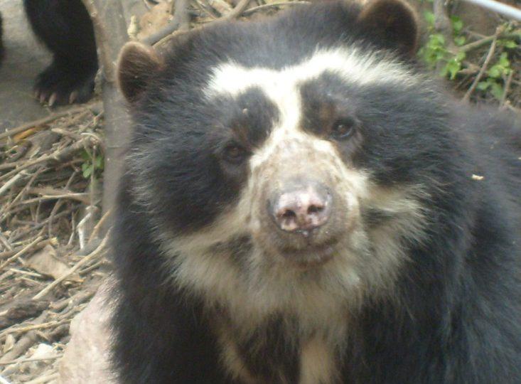 Por estas razones el mundo debe proteger la vida del oso de anteojos