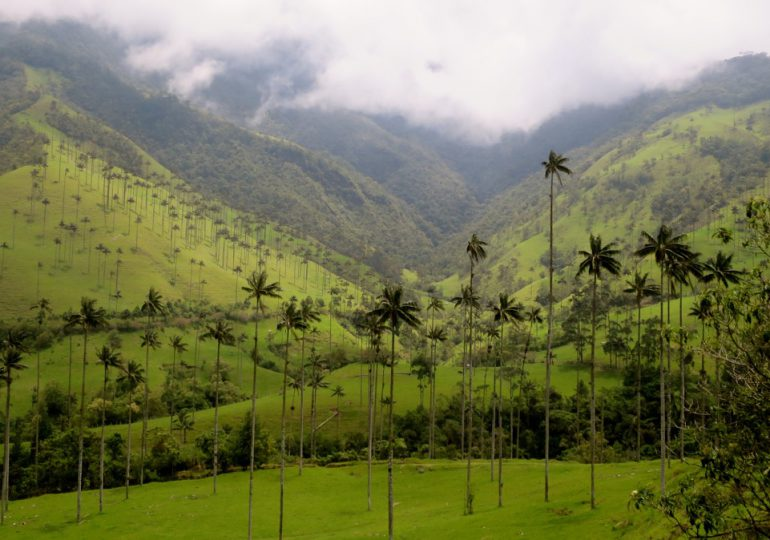 Minería en Salento, Quindío, amenaza el árbol nacional de Colombia