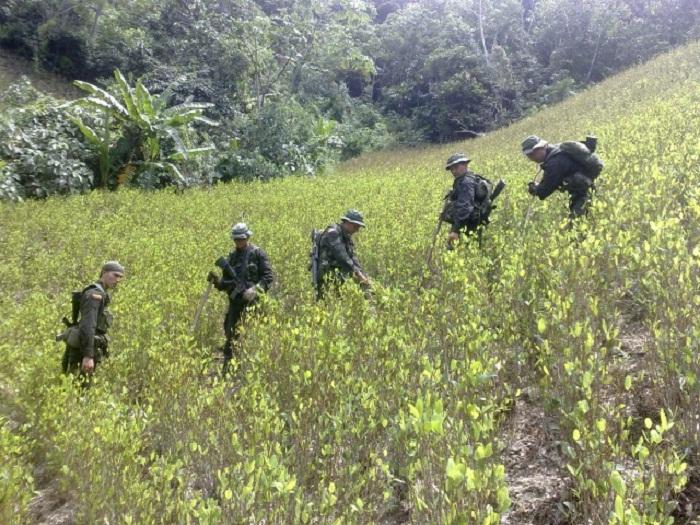 Erradicaciones forzadas de coca no contribuyen a la paz