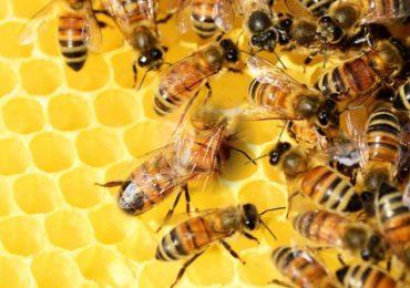 ¿Qué le pasaría al planeta si se extinguen las abejas?