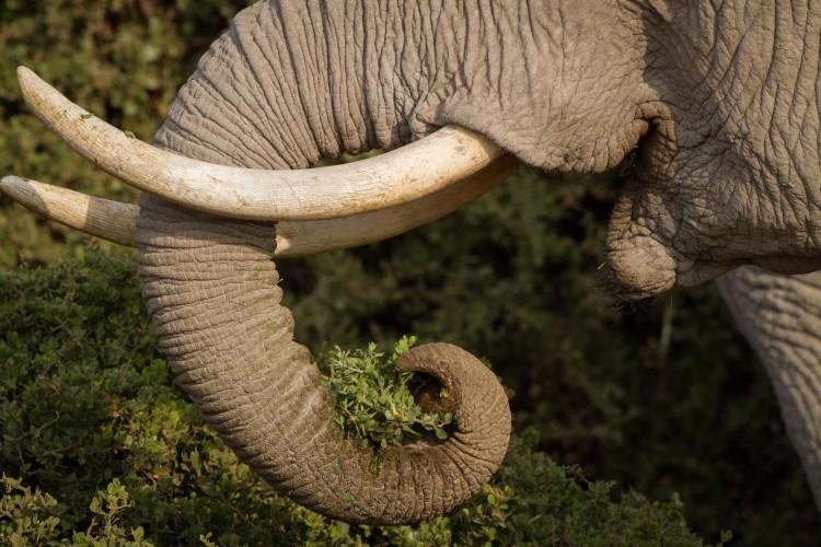 La caza furtiva cobró la vida del 80% de los elefantes en santuario de Gabón