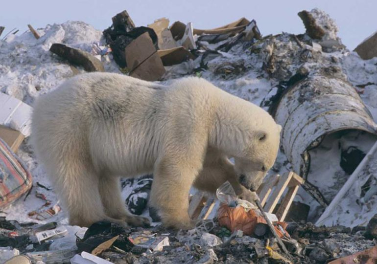 Cambio climático altera la dieta de los osos polares