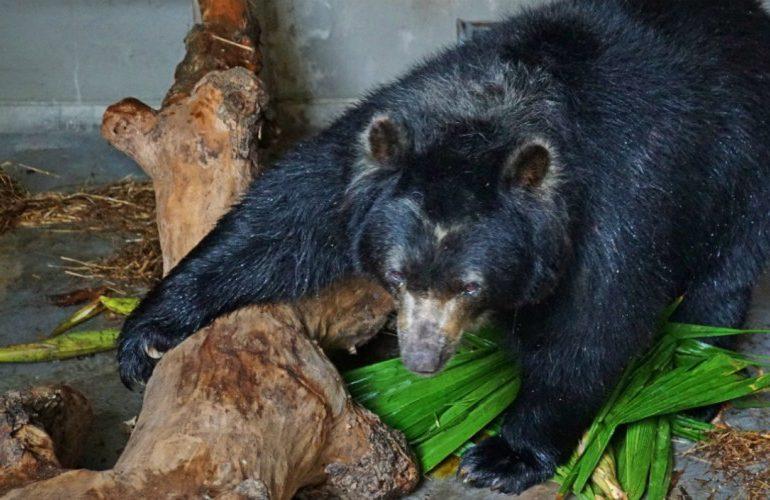 Trasladan a oso de anteojos de una reserva natural a un zoológico en Barranquilla