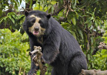 Colombia se pone los anteojos por el oso andino