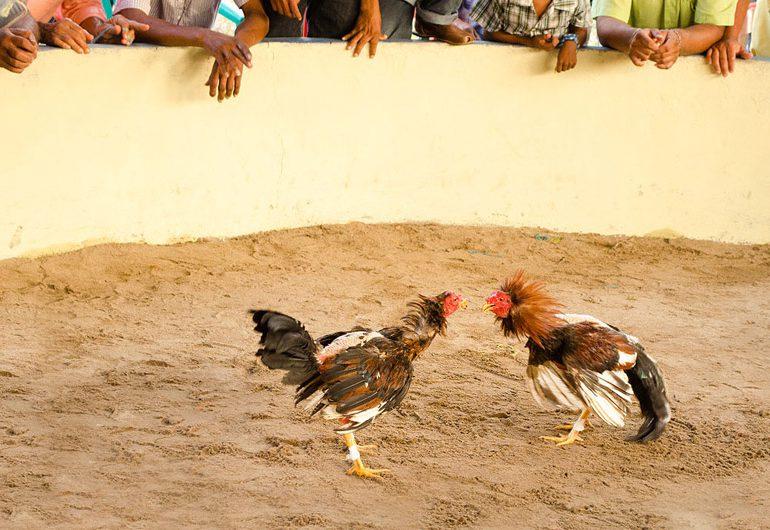 Paren ya la crueldad contra los gallos