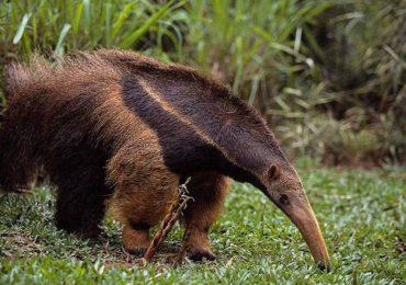 Sujetos apuñalaron a oso hormiguero en Flandes, Tolima
