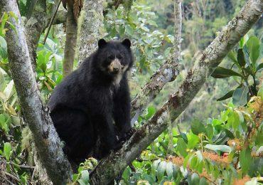 La pérdida de su territorio y la caza: Los mayores riesgos del Oso Andino