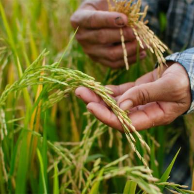 Para sacar de la crisis a los arroceros, habría que intervenir el precio del grano
