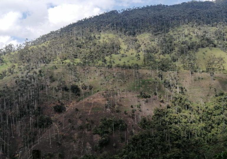 Incendios y glifosato amenazan bosque de Palma de Cera