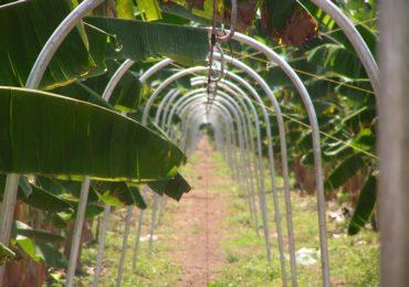 Empresas bananeras de Uraba son investigas por concierto para delinquir y financiación de grupos armados